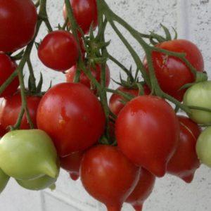 Сорт томата Буденовка: описание и фото