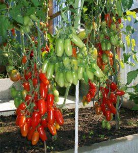 Помидоры Казанова: описание сорта, фото, урожайность