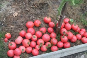 Сорт томата Алый фрегат: описание и фото