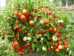 Сорт томата Альфа: фото и описание