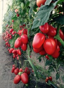 Сорт томата Чибис: фото и описание