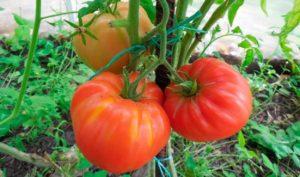 Сорт томата Безразмерный: фото и описание