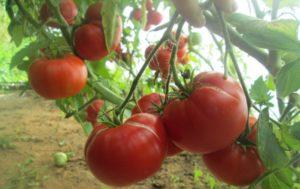 Сорт томата Мамина любовь: фото и описание