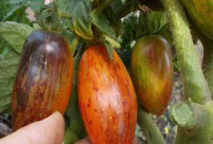 Сорт томата Гном Бой с тенью: описание и фото