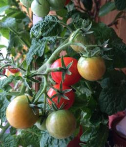 Помидоры Бонсай: описание сорта, фото, как выращивать