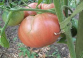 Помидоры Розовый гигант: описание сорта, фото, урожайность
