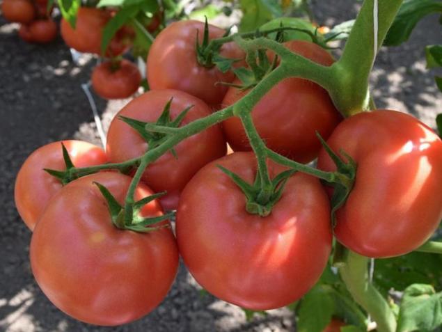 Томат куум описание и характеристика сорта урожайность с фото
