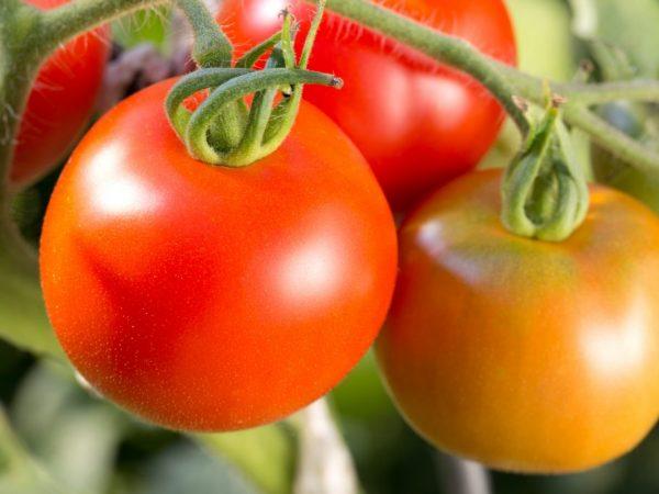 Помидоры Джина ТСТ: описание, фото, урожайность
