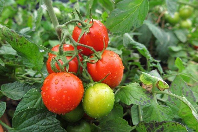 Сорт помидоров джина тст