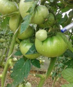 Сорт томата Алтайский шедевр: фото и описание
