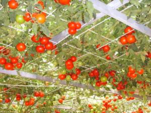 Помидоры Спрут F1: фото, описание, как выращивать в открытом грунте и в теплице