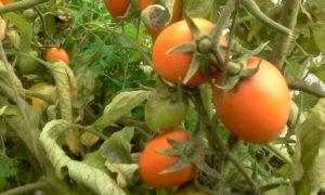 Сорт томата Лисичка: описание и фото