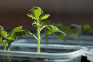 Сорт томата Мохнатый шмель: фото и описание