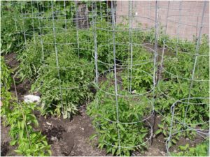 Помидоры Алтайский мед: описание сорта, фото, урожайность