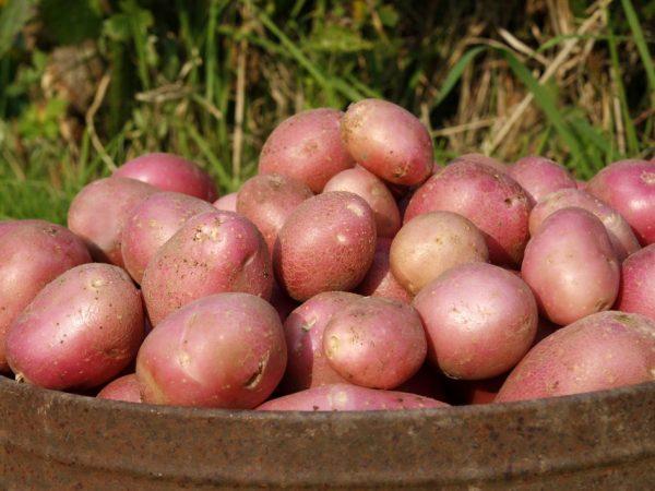 Картофель Алладин: характеристики сорта, урожайность, отзывы