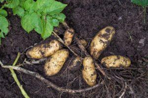 Картофель Гранада: характеристики сорта, вкусовые качества, отзывы