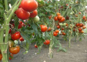 Помидоры Король ранних: описание, фото, урожайность