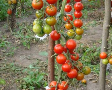 Сорт томата Черри Блосэм: фото и описание