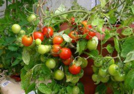 Помидоры Клюква в сахаре: характеристика и описание, фото, выращивание