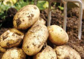 Картофель Венета: характеристики сорта, вкусовые качества, отзывы