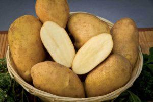 Картофель Удача: характеристики раннего сорта, посадка, уход, отзывы