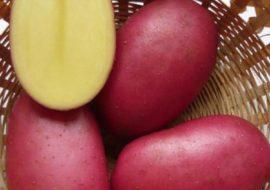 Картофель Мерлот: характеристики сорта, вкусовые качества, отзывы