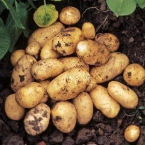 Картофель Импала: характеристики раннего сорта, отзывы тех, кто сажал