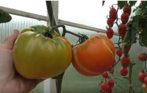 Сорт томата Медовый салют: фото и описание