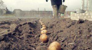 Картофель Голубизна: характеристики сорта, вкусовые качества, отзывы