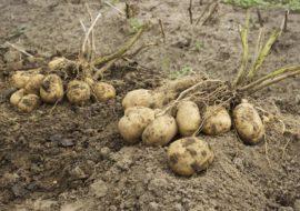 Картофель Джелли: характеристики сорта, вкусовые качества, отзывы
