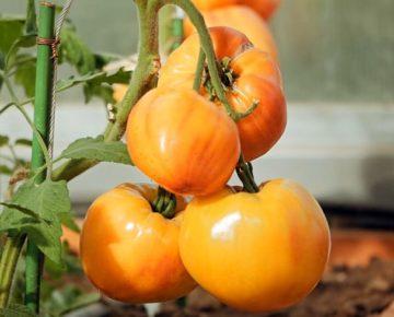 Сорт томата Сокровище инков: фото и описание