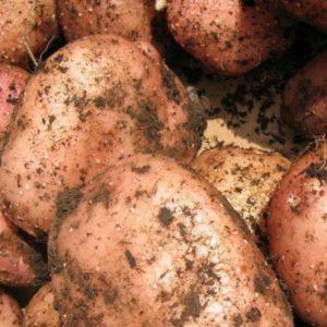 Картофель Ильинский: характеристики сорта, урожайность, отзывы