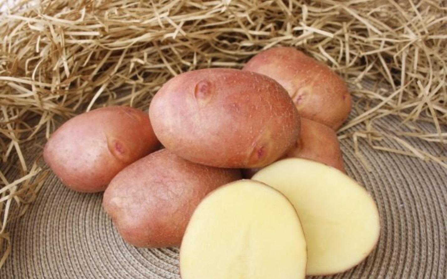 пришли выводу, картофель чугунка описание сорта фото отзывы вор законе попросил