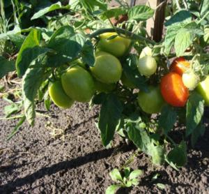 Сорт томата Валентина: фото и описание