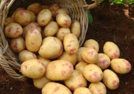 Картофель Пикассо: характеристики сорта, урожайность, отзывы