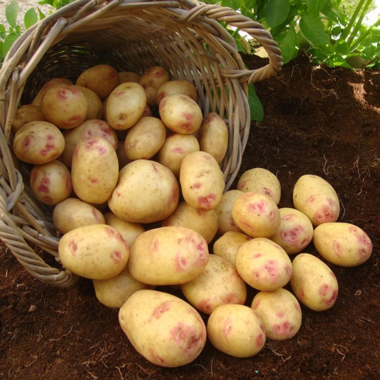 название сортов картофеля с картинками первую очередь следует