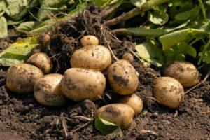 Картофель Лорх: характеристики сорта, вкусовые качества, отзывы