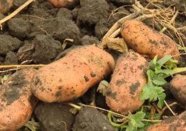 Картофель Башкирский лапоть: характеристики сорта, как выглядит, отзывы