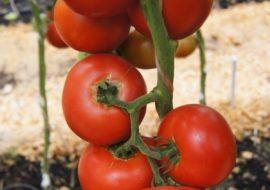 Томат Президент F1: характеристика и описание сорта, фото куста, урожайность