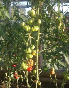 Сорт томата Женская доля: фото и описание