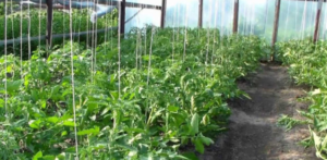 Помидоры Дикая роза: описание сорта, фото, урожайность