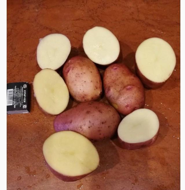 картофель вектор описание сорта фото отзывы кунгуряки