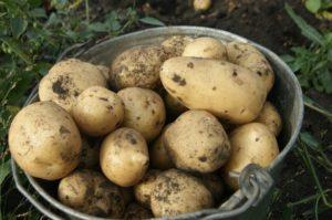 Картофель Чародейка: описание сорта, фото, урожайность, отзывы