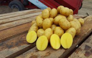 Картофель Wendy (Венди): характеристики сорта, отзывы