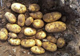 Картофель Джувел: характеристики сорта, вкусовые качества, отзывы