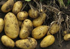 Картофель Скарб: характеристики сорта, урожайность, отзывы