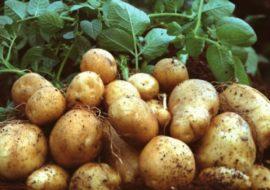 Картофель Сантэ (Санте): характеристики сорта, вкусовые качества, отзывы