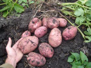 Картофель Родриго: характеристики сорта, вкусовые качества, отзывы
