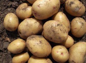 Картофель Великан: характеристики сорта, урожайность, отзывы