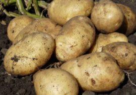 Картофель Молли: характеристики сорта, урожайность, отзывы